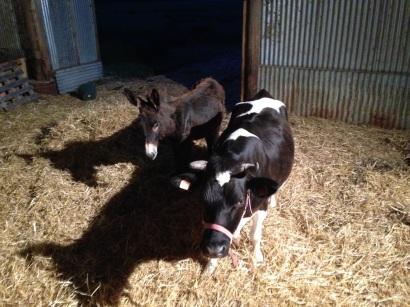 Nut-Nut le petit âne et Gigi, la vache